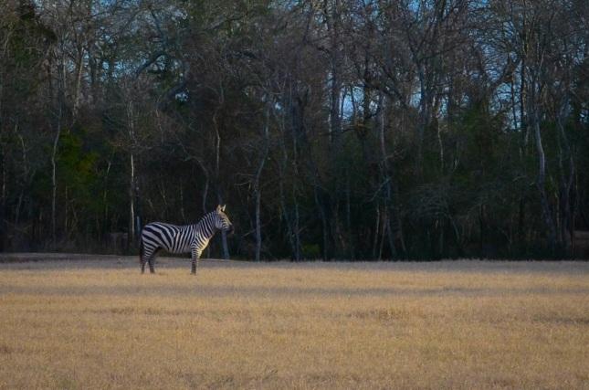 Zebra at El Corazon